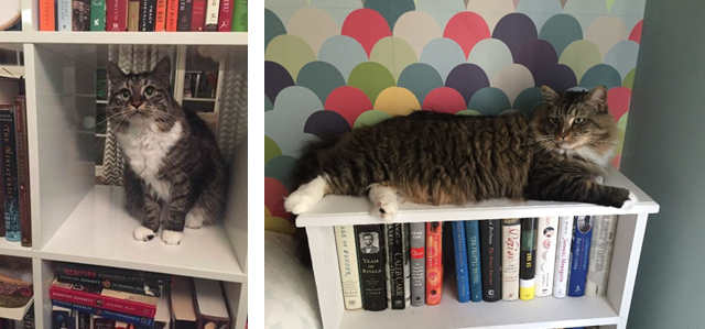 Two pictures of cats on book shelves